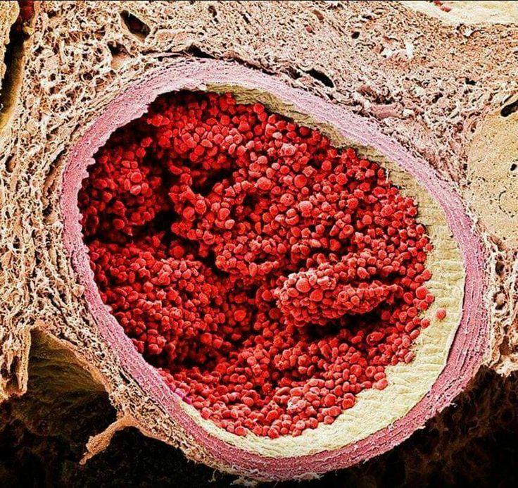 Sezione trasversale di un vaso sanguigno in microscopia elettronica.