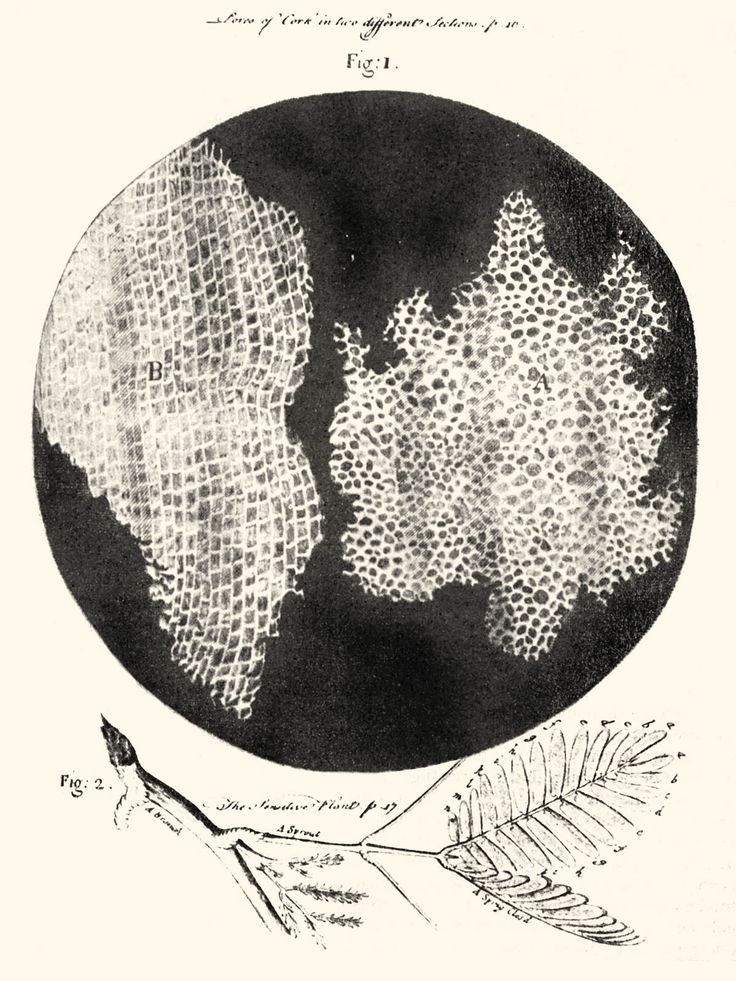 Diagram Of Cork Cells As Seen By Robert Hooke  Inventor Of