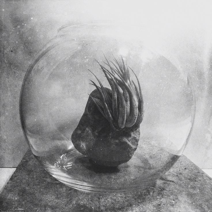 Tilandsia in glass