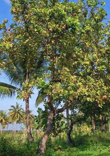 L' #anacardier : l' #arbre aux #noix de #cajou : Saviez-vous que l'arbre qui produit les noix de cajou est originaire du Brésil et s'appelle anacardier ? Nous vous proposons de découvrir cet arbre tropical au fruit étonnant.