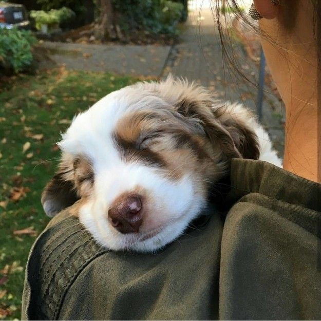 They're ugly, dangerous, and absolutely repulsive in every way. | 17 Reasons Australian Shepherds Are The Worst Possible Breed Of Dog You Could Adopt