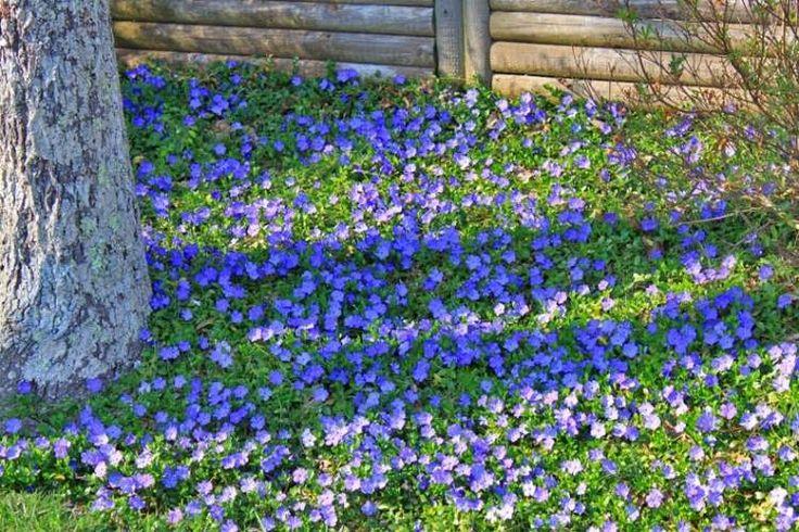 Vinca Minor webt einen schönen blauen Blütenteppich