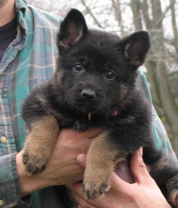Such an adorable face on this German Shepherd puppy.