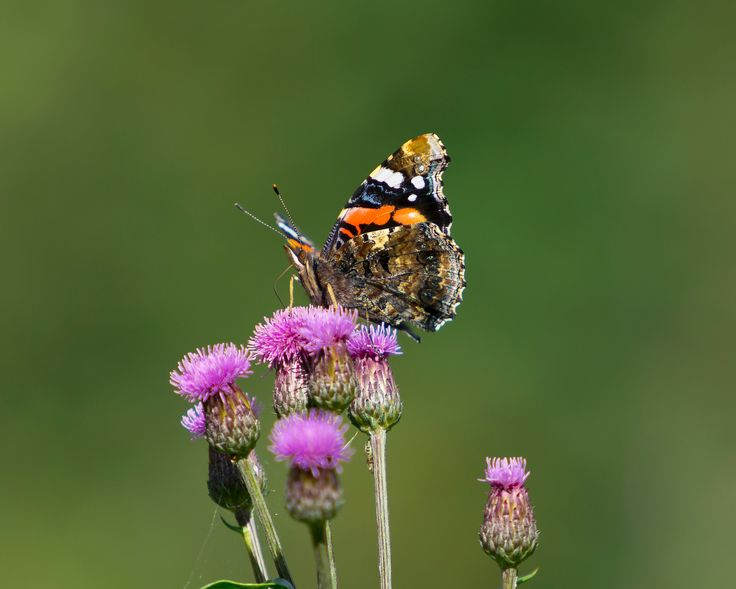 Vanessa atalanta - The colorful Red Admiral has beautiful detailed patterns on the wings underside