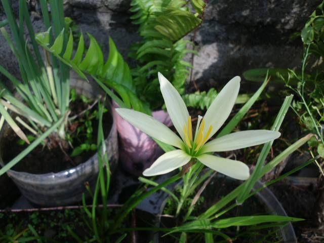 Wild Lily