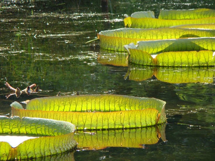 Lily pads in the Summer Palace Gardens in Beijing