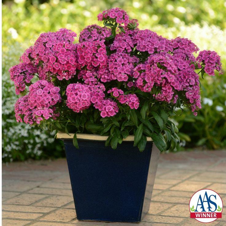 Dianthus Interspecific Jolt™ Pink F1