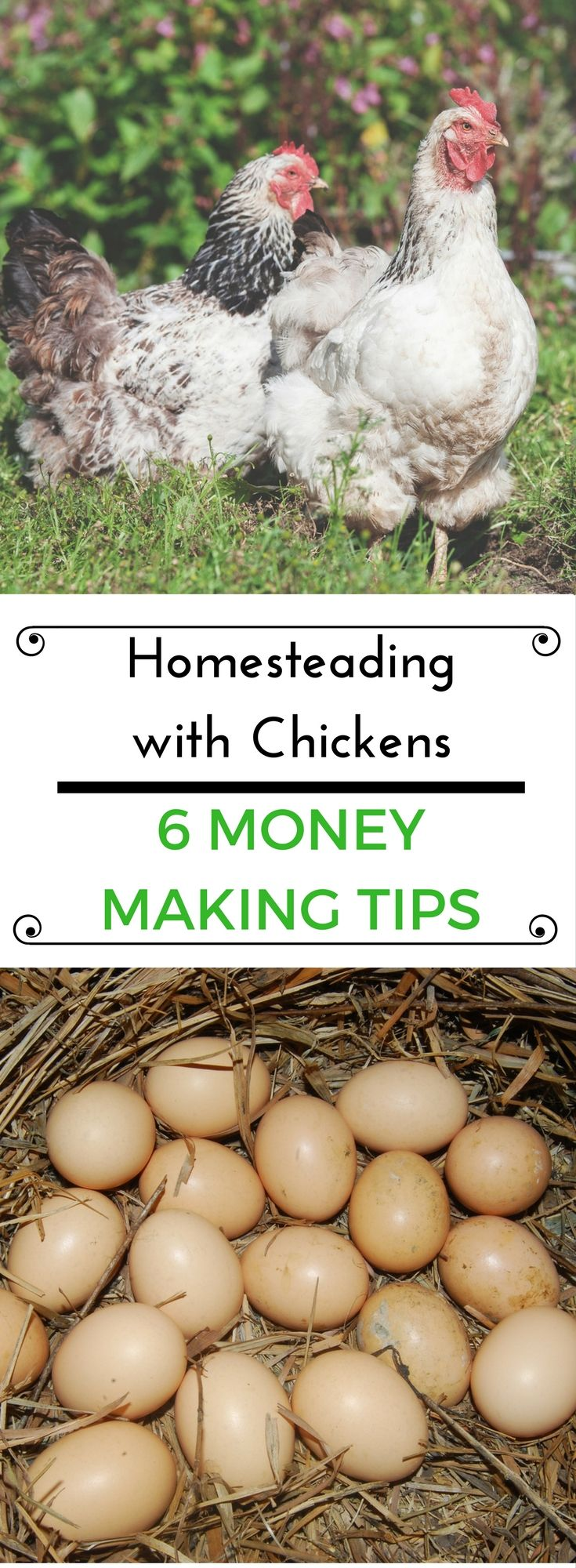 Want to make money homesteading with your chickens? You can make money with your chickens with these 5 different tips.