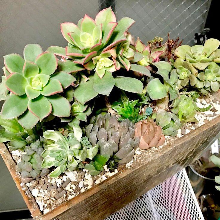 植え替え中ꉺ.̫ꉺアエオとハオたち。もうちょい敷き詰めよう 入る場所ないからしばらくここで我慢してくれ〜 . #多肉植物 #サボテン #succulent #cactus #garden #寄せ植え . #アエオニウム #ハオルチア #Haworthia #Aeonium . #オブツーサ #紫オブツーサ #光オブツーサ #夕映え #カラソル #リリーパッド #双眉 http://www.butimag.com/紫オブツーサ/post/1467478574306207760_4514773416/?code=BRdh_0BBKgQ