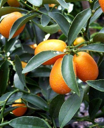 Le kumquat : présentation et conseils de culture : Le kumquat est un joli arbuste décoratif dont les fruits se consomment avec la peau. Voici quelques conseils pratiques pour planter et entretenir cet agrume qui se cultive aisément en pot.