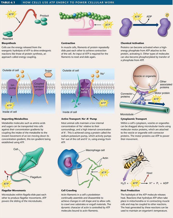 Link to a ton of animations about different cellular processes!