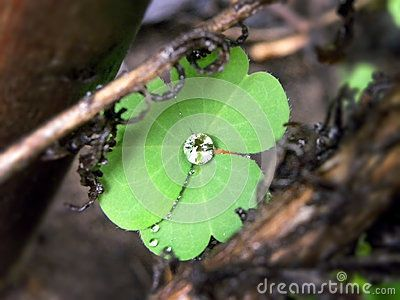 A close-up view of a raindrop diamond on a clover leaf.