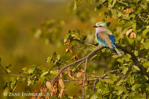 Lilac roller. Beautiful birds of South Africa