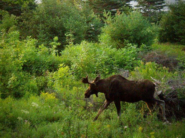 Love wildlife? check out this moose from your porch! http://www.cabotshores.com/
