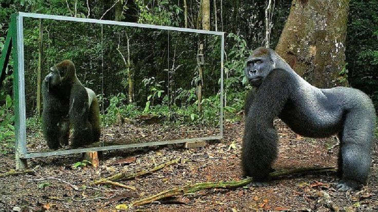 Watch How Animals React To A Mirror That Suddenly Appears In The Jungle (VIDEO) #wild #animals
