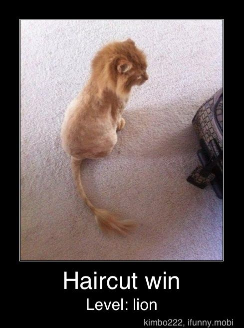 CAT!Haircuts, Orange Cat, Lion Cat, Hair Cut, Lion King, Kittens, Baby Lion, Kitty, Animal