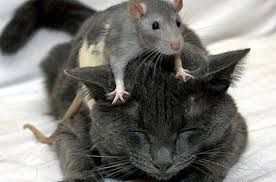 """Képtalálat a következőre: """"rat"""""""
