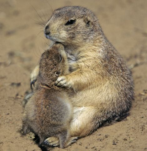 Prairie Dog Mom and Baby | Magnificent Animals | Pinterest