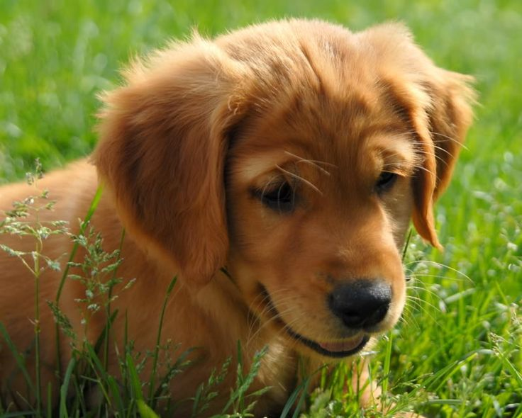 golden retriever red the 25 best red golden retrievers ideas on pinterest 2216