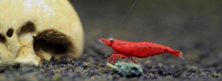 Nano-Aquarium für Anfänger: Saugwürmer, Kiemenwürmer bei Garnelen diagnostizieren und mit Tremazol© behandeln
