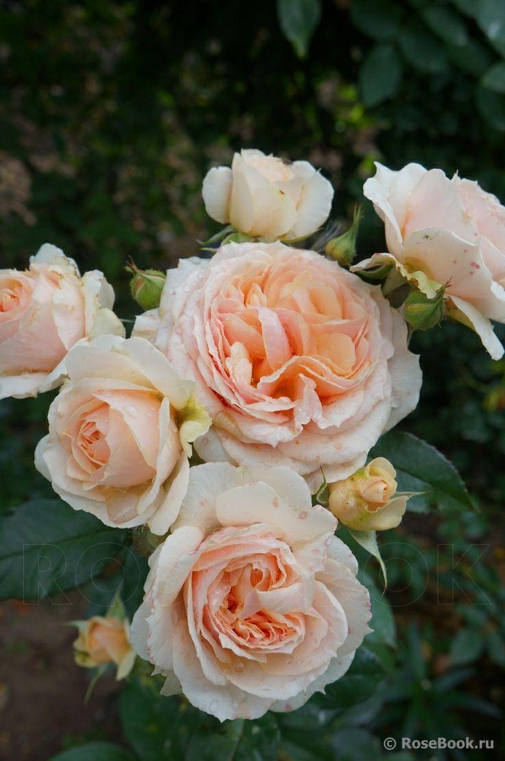 1957 best rosen englische rosen david austin co. Black Bedroom Furniture Sets. Home Design Ideas