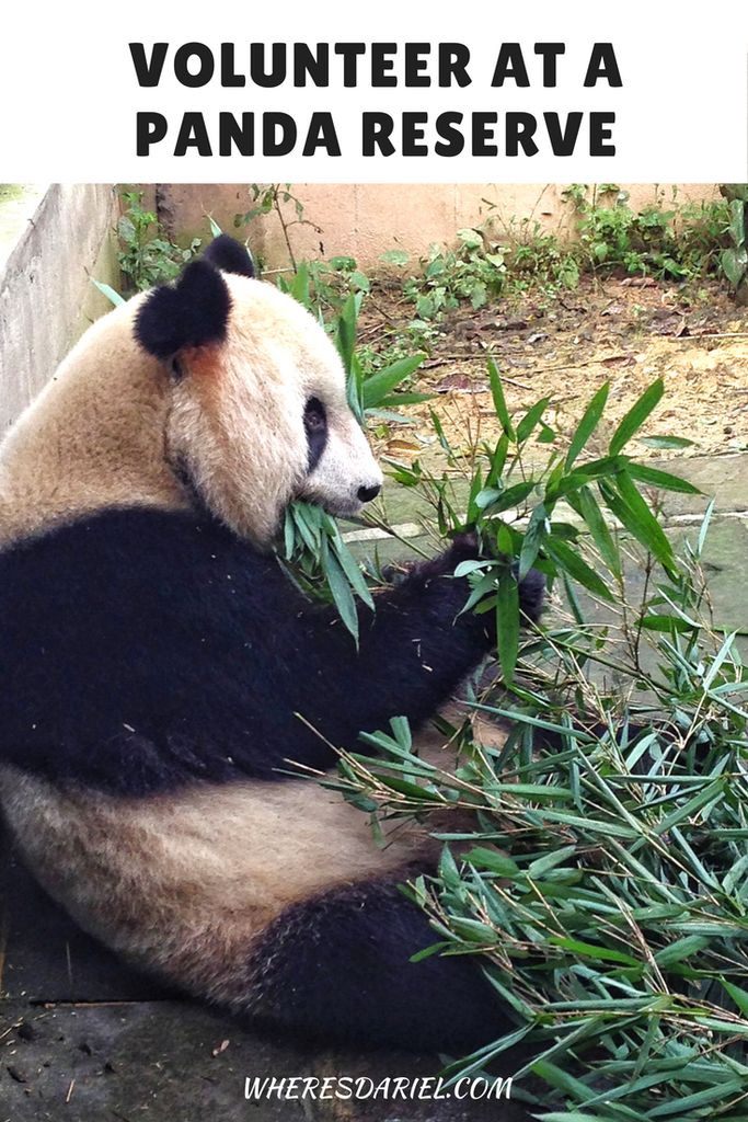 We signed up to become volunteers at Bifengxia Panda Reserve in Ya'an, China. We helped to clean the panda cages, feed them and even took photographs with them.