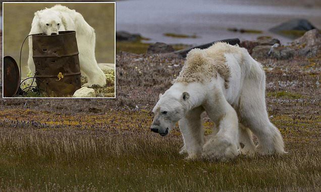 Are polar bears being killed by climate change?
