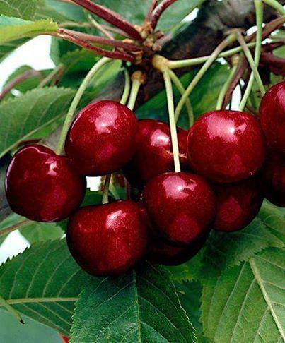 De nuestro Valle del Jerte, las mejores cerezas.
