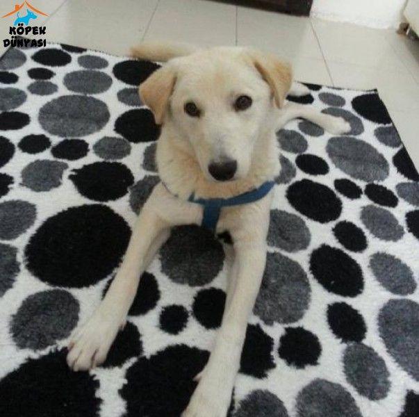 Yaklaşık olarak 8-9 aylık olan erkek Labrador-Golden melezi yakışıklı oğlumu özel sebeplerden dolayı tamamen ücretsiz olarak sahiplendiriyorum. http://www.kopekdunyasi.com/erkek-labrador-golden-melezi-ogluma-yeni-yuva-ariyorum.html