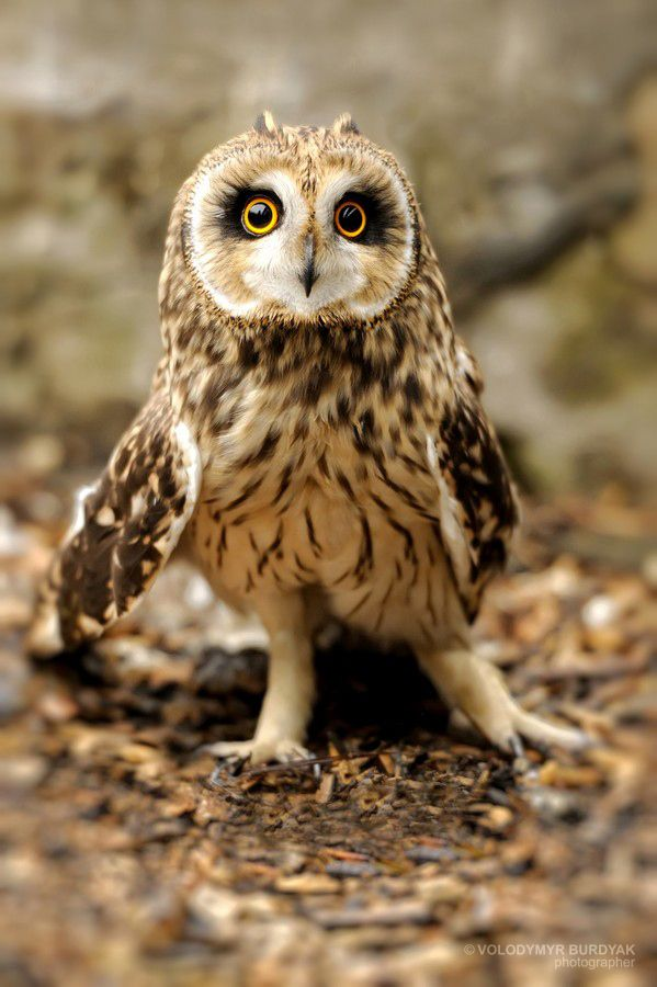 Owl by Volodymyr Burdyak, via 500px