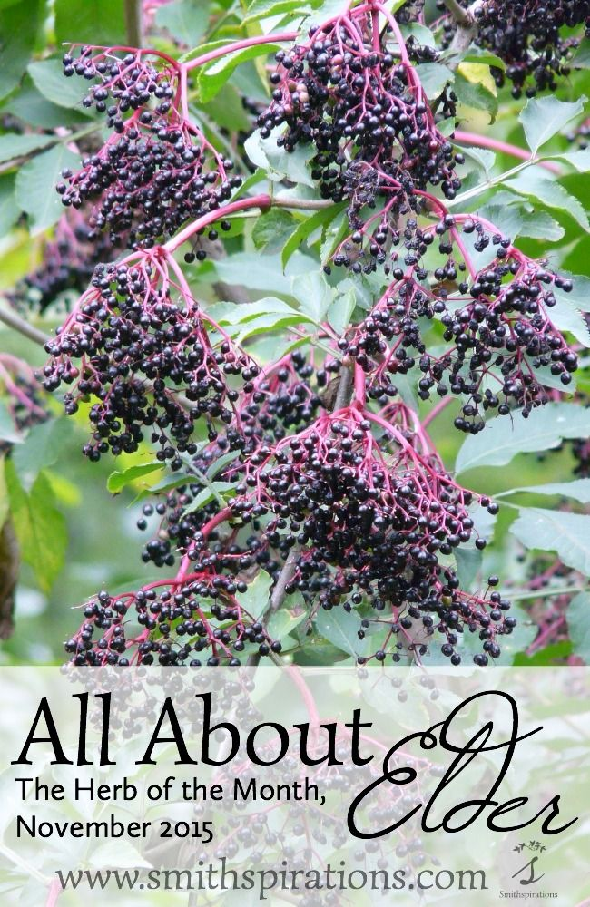 All About Elder, The Herb of the Month for November 2015. There's a free printable card about elder, too!