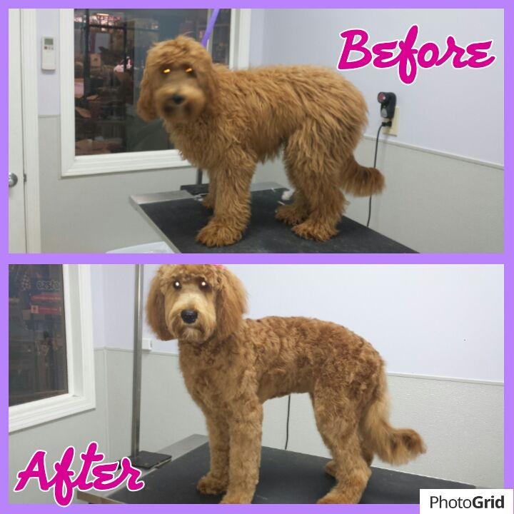 goldendoodle haircut before and after pictures this is london the labradoodle before and after her