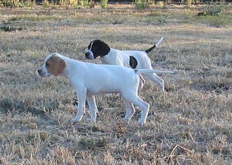 Beautiful English pointer puppies | Burton Upon Trent, Staffordshire ...