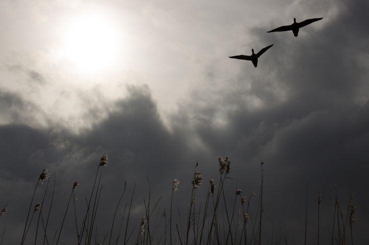 Ernest Davies Photography. Pagham Harbour, Migrating Geese.