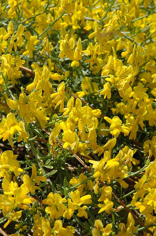 Click to view full-size photo of Lydia Broom (Genista lydia) at Millcreek Nursery Ltd