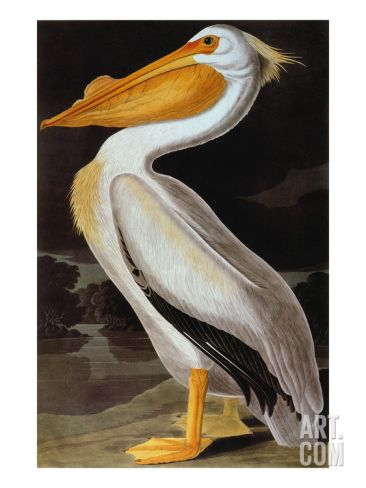 Audubon: Pelican Giclee Print by John James Audubon at Art.com
