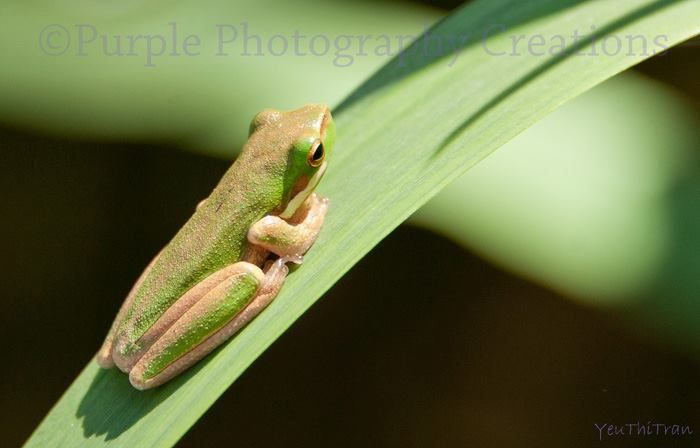 YeuThiTran, The Australian green tree frog, simply green tree frog in Australia.
