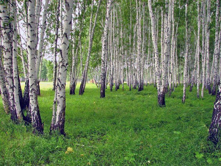 huş ağacı TABLO - Google'da Ara