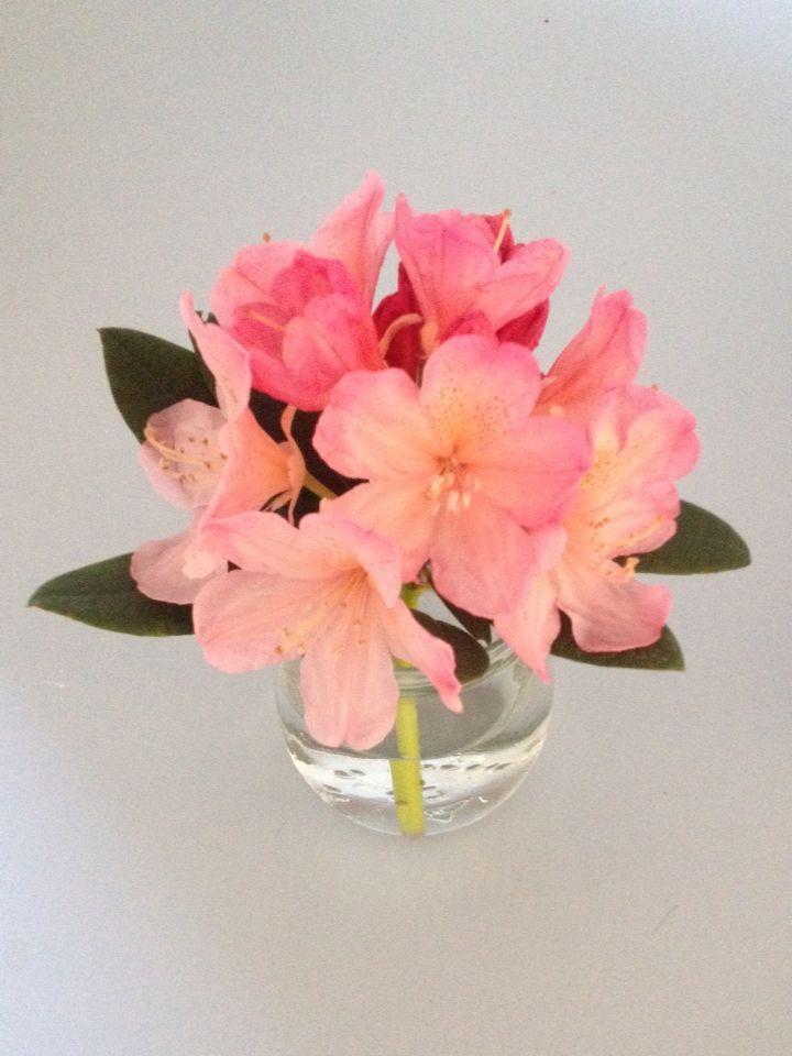 Rhododendron from the garden