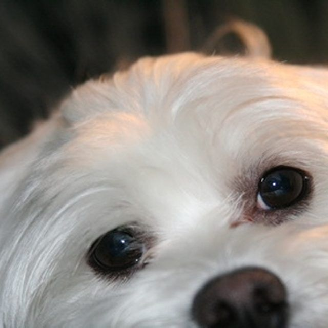 How to Get Eye Stains Off of Maltese Dogs | Maltese and Dog