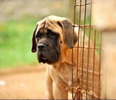 Mastiff Dog Breed Info & Pictures | petMD