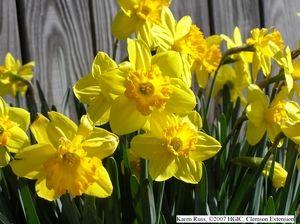 Narsissi, kukkii krookuksen jälkeen, suomessa yleensä toukokuussa. Värivaihtoehtoja on paljon, kunhan tykkää keltaisesta ;-). Markkinoilla on tuhansia eri lajikkeita, jotka eroavat muodoltaan toisistaan. Valtaväri keltaien, myös valkoisia ja kerrottuja (=tuuheampiruusukkeisia) löytyy. Helppo ja varma kunhan antaa kasvin lakastua omia aikojaan eikä leikkaa lehtiä pois juuri silloin kun narsissi kerää ravintovarantoja seuraavan kevään kukintaa varten!