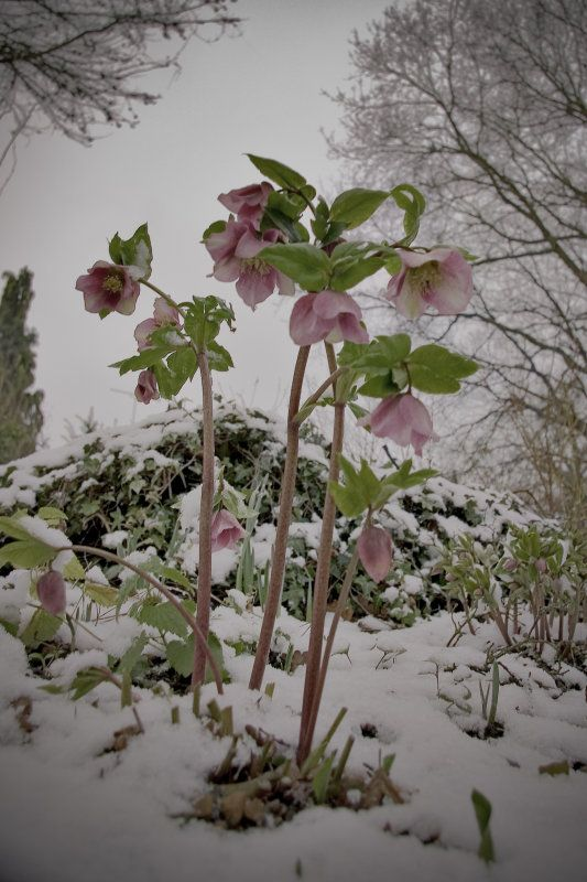 Helebores - Lenten Rose.  My first flower I planted when I moved to my new home!
