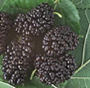 How to make Mulberry Jam - easily! With step by step photos, recipe ingredients and costs