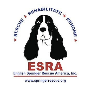 Proud to be associated with this organization!   Fostered and rehomed 18 ESS to date =)   English Springer Rescue America, Inc. www.springerrescue.org
