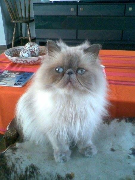 Help! Boulie #vermist! #kattin Wie heeft haar gezien? Enorm tam! PB mij indien enig spoor! verdwenen te #SintLievensHoutem. An De Cock-Perreman https://www.facebook.com/femke.decockperreman