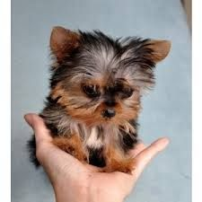Image result for teacup yorkie puppies