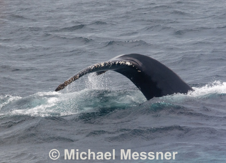 Humpback Whale waves Goodbye
