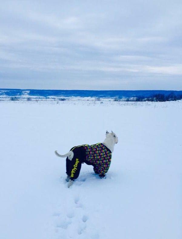 Mare, zapada si impozantul Crystal imbracat in Salopeta de Iarna de la King Maru --> https://kingmaru.ro/  #hainecaini #accesoriicaini #imbracamintecaini #caine #caini #catel #catei #dog #dogs #kingmaru