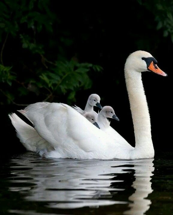 Visit England around April - June and you'll seen scenes like this on rivers and lakes... an adult swan and baby cygnets